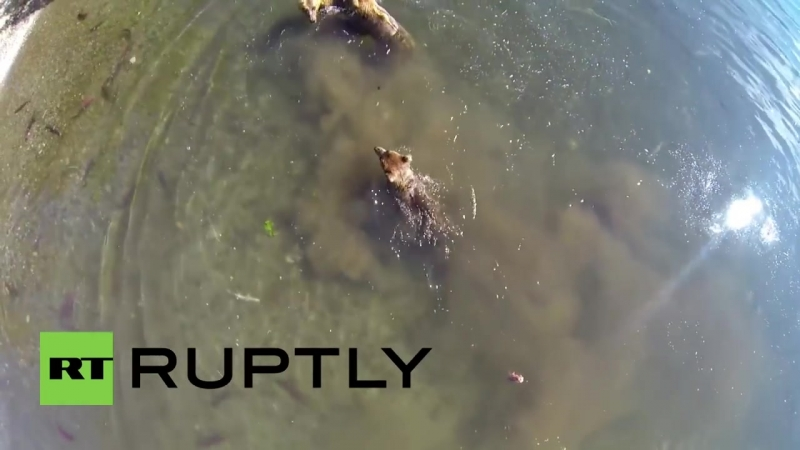 Russia_ Photographer locks himself in cage to get close to bears, drone footage