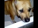 собака убийцаПитБуль