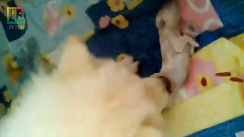 Роды Самоеда от схваток,до первого щенка