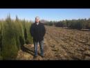 Туи ели сосны Живые изгороди хвойными в Калининграде