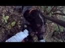 Охота на фазана с легавыми, собака попала в петлю.