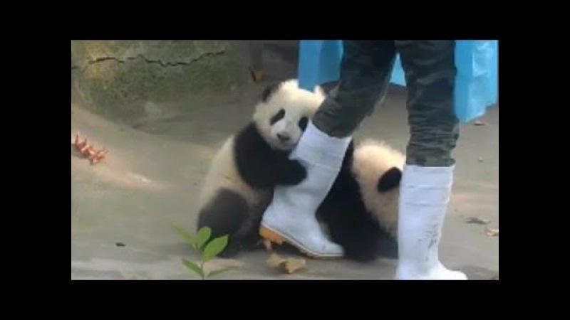かまってほしい❤赤ちゃんパンダが飼育員さんにオジャマ抱きつき攻25731