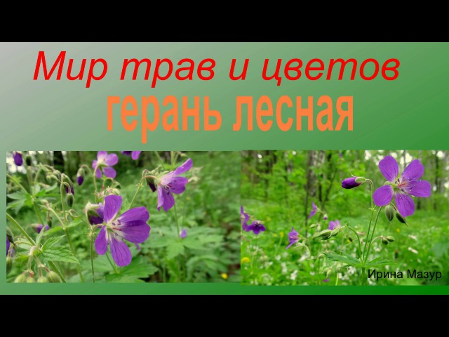 Герань лесная. Лекарственные травы. Geranium forest. medicinal herbs