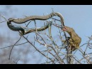 King Cobra Fight On Tree ⇉ Snake , Bird , honey badger , Mongoose - Wild Animal Attacks
