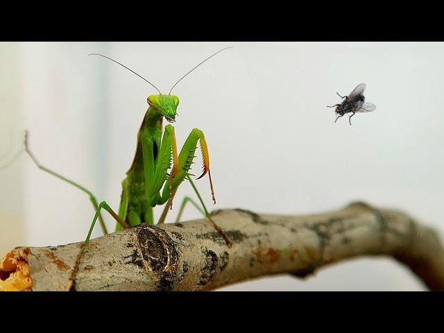 Террариум для Богомола и охота Богомола на муху Alex Boyko