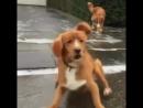 Собаки, которые ну очень смешно падают