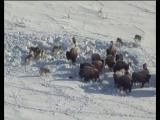 Стая волков против стада бизонов (Godflesh - No Body)