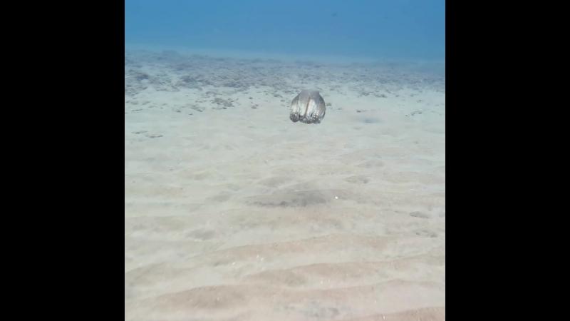 Vídeo mostra o nado e a camuflagem de um polvo