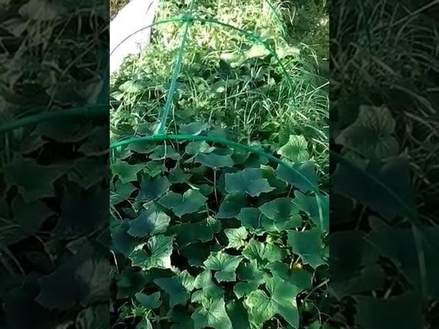 Грядка на целине без перекопки. Опыт выращивания. Без картона Очень просто!