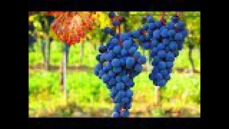КИШМИШ - виноград без косточки. В чём его польза?