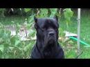 Кормим щенков собаки а Cane Corso Деррек смотрит 3. canecorso
