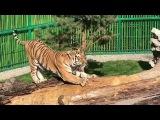 Новоселье тигра Урмана