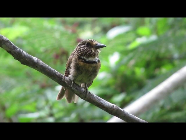 Crescent chested Puffbird Чёрно белая малакоптила Malacoptila striata