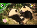 Pandas Love Giving Free Hugs! iPanda