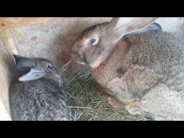 подготовка кроликов к спариванию