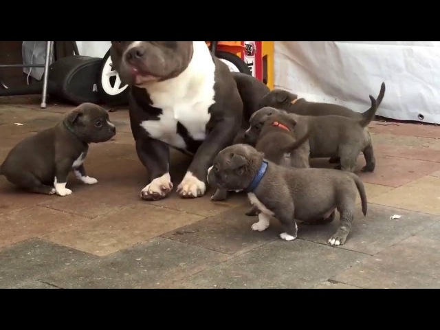 Puppies Play With Daddy Dog | Funny Dogs | | Viral Video To Laugh