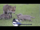 Baby Foxes eating supper