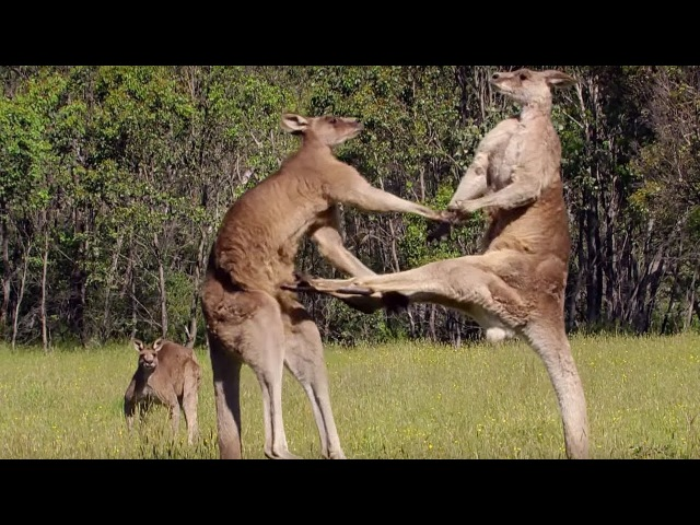 Kangaroo Boxing Fight | Life Story | BBC
