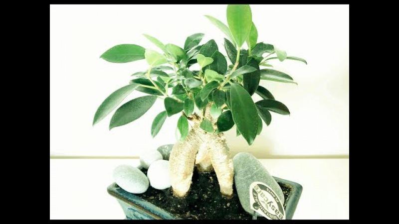 Бонсай фикус Микрокарпа Гинсенг Формирование кроны Ficus Microcarpa Ginseng