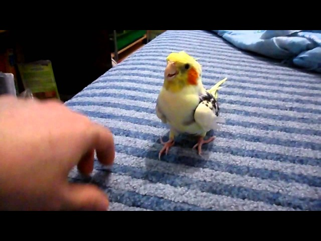 Мега ручной попугай корелла Тимошка