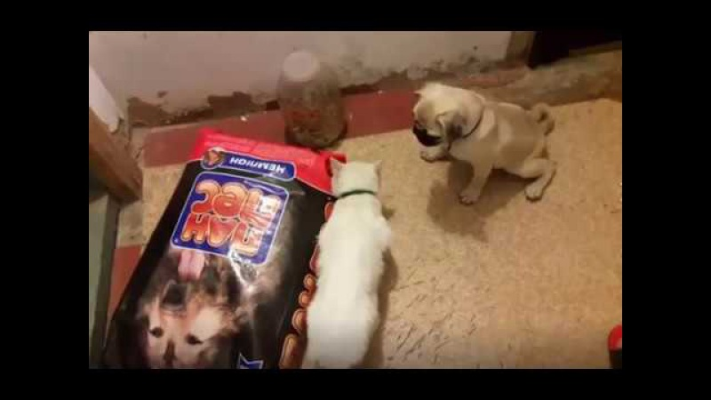 Pug vs Cat fighting for corm amazing movie