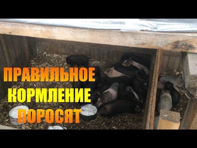 Возраст 2 месяца Как праильно кормить поросят/жизнь в деревне