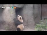 Опубликована подборка самых нелепых падений панд