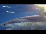 Фридайвинг с акулами