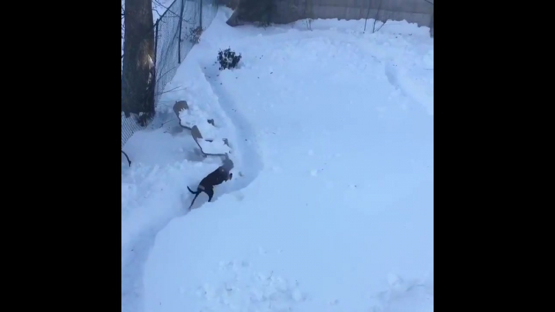 Had to shovel a formula 1 track through the back yard for the greyhounds.