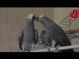 Говорящий попугай Григорий и его невеста Ксюша. 😍 🤣