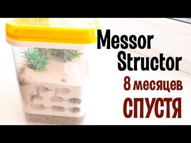 Колония Messor Structor 8 месяцев спустя.