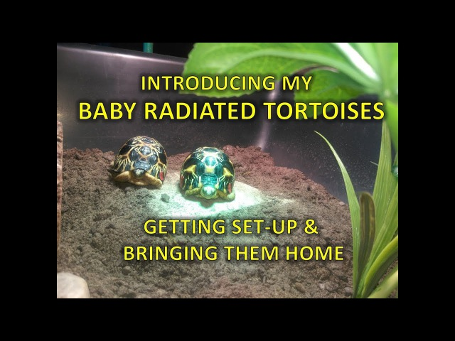 Baby radiated tortoises - set-up and unboxing