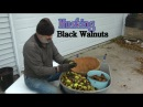 Сбор Черных Грецких Орехов