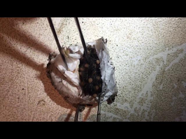 Пользователей Сети умилило видео рождения смертельно опасных пауков: