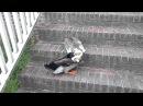 Cat Duck fight Tom Bonin