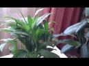 Мои Комнатные Растения / Спатифиллум начинает цвести! Ура - нечаянная радость!