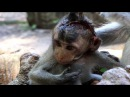 Feeling sad Tony baby monkey was injured hard, Tony baby monkey Injury tries to alive, MA 231
