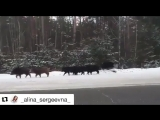 #Repost @ _alina_sergeevna_ ・・・Около Криуши гуляют кабаны 😱 #ryazan