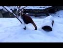 Красная панда радуется первому снегу (6 sec)
