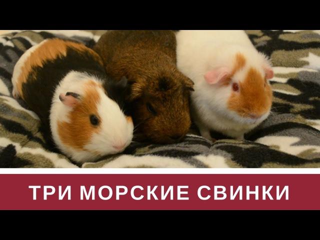 Три Морские Свинки: Фрося, Лампа, Сеня » Freewka.com - Смотреть онлайн в хорощем качестве