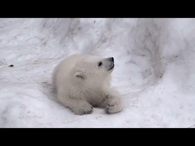 По следам белого медвежонка