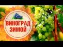 Как подготовить виноград к зиме? 🌟 Пошаговая инструкция от эксперта hitsadTV