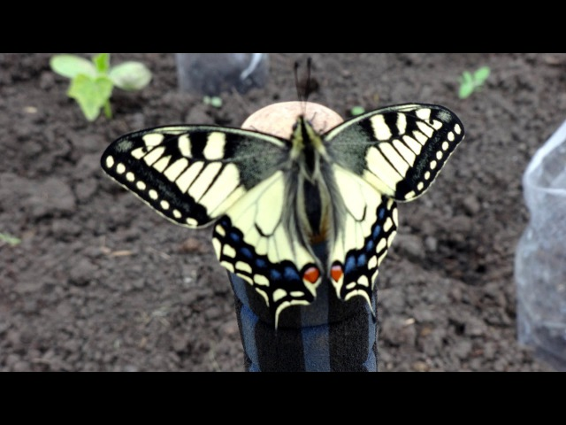 Бабочка Махаон парусник