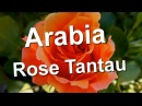 Arabia Rose Tantau