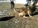 Собачьи бои в Дагестане