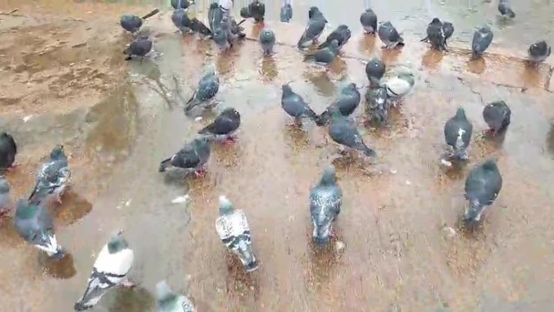 Трускавець - мітинг голодних голубів!)