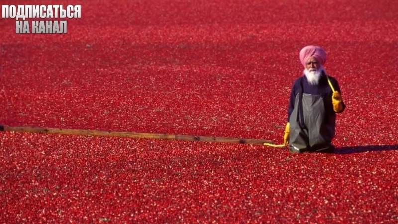 Красные клюквенные моря. Интересные факты. 1000 и один факт.