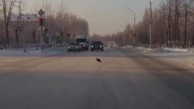 В Верхней Салде птицы переходят дорогу по светофору