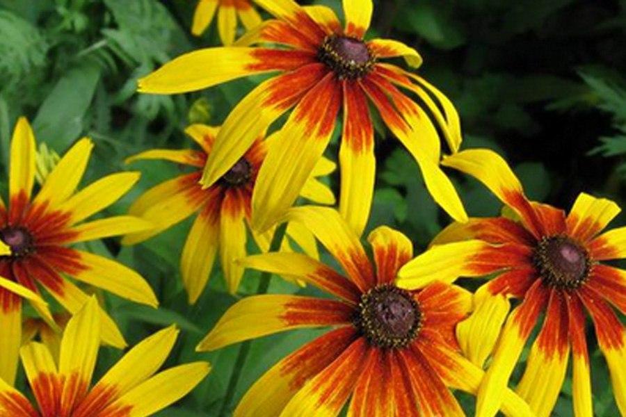 Многолетники для цветников - Седум