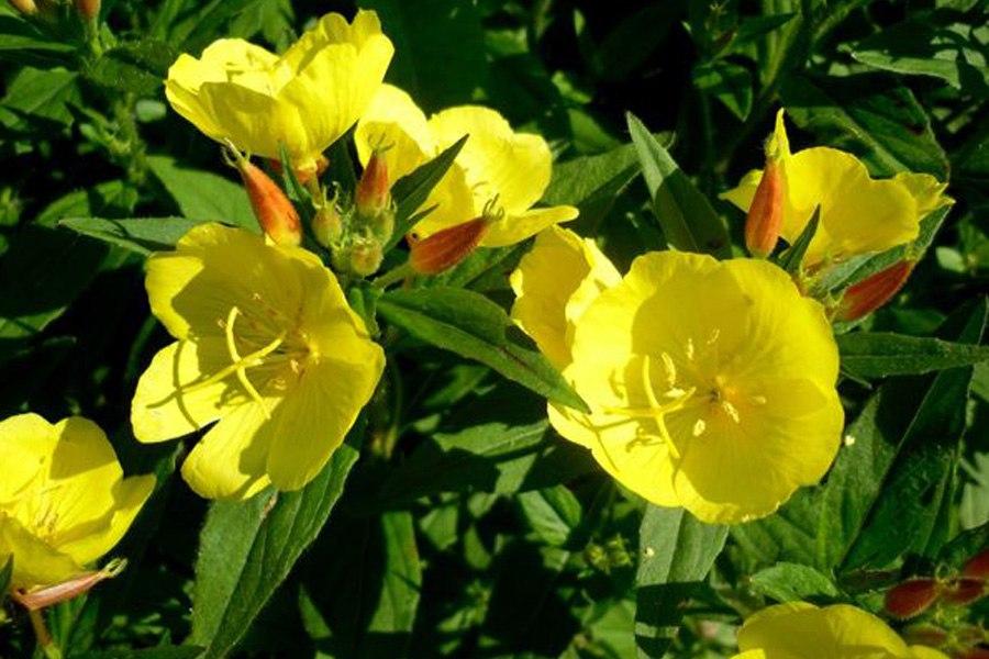 Многолетники для цветников - Энотера